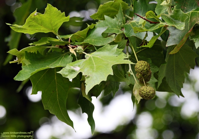 London plane with fruits