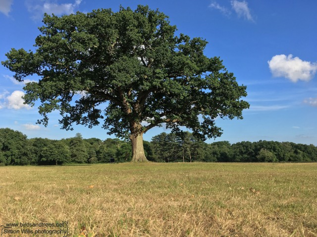Mature oak on Southampton Common