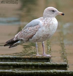 Herring gull immature
