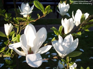Magnolia in flower