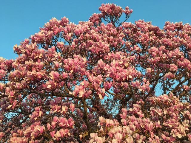 lr Magnolia soulangeana Alexandrina