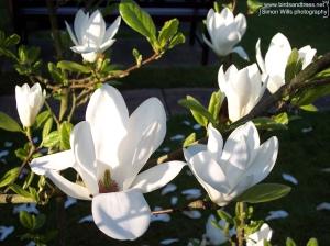 lr magnolia
