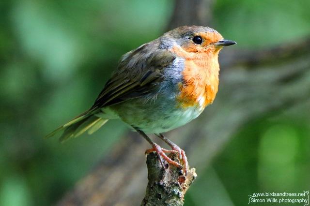 lr Robin 15