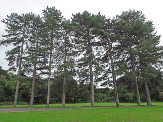 Pines on Common