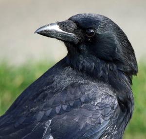 lr crow