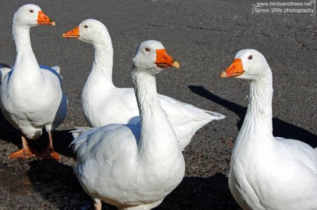 lr geese