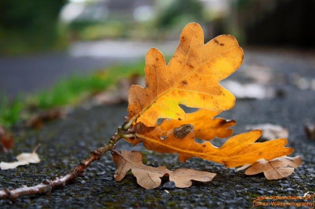 lr oak leaf