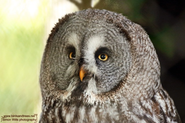 lr Great Grey Owl