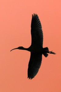 lr Ibis glossy 2_edited-2