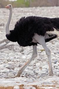 lr ostrich