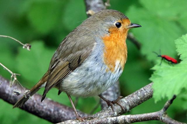 lr Robin b