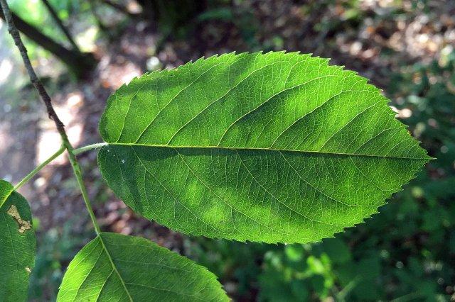 lr Mespil leaf
