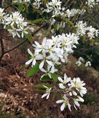 Mespil flower
